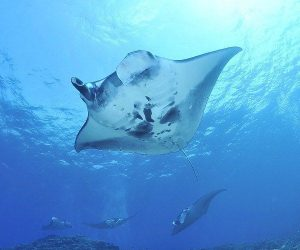5 of the greatest manta ray diving sites in the Americas
