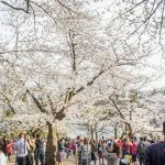 Here's when High Park cherry blossoms will reach peak bloom this year