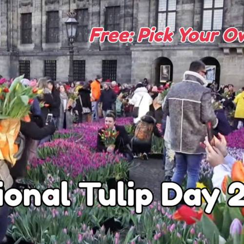 Pick Your Own Tulips in Amsterdam on National Tulip Day 2020