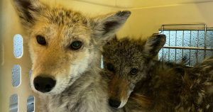 Adorable sick coyote siblings rescued after caught eating from a bird feeder in Toronto