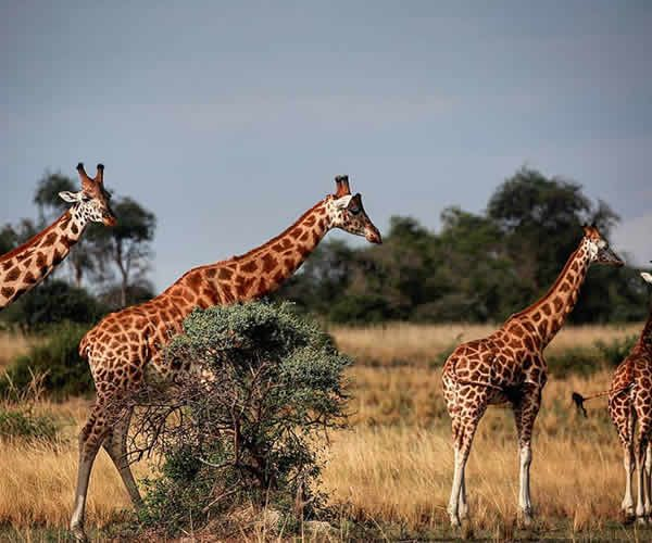 Prime 5 magical safaris in Uganda and the place to remain